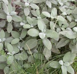 100ml Salbei Tropfen, Extrakt, Salvia officinalis Konzentrat - Bild vergrößern